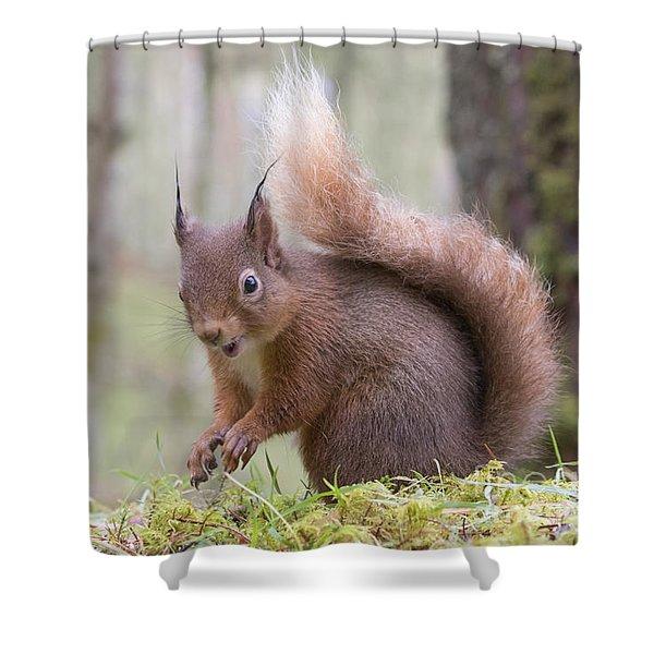 Red Squirrel - Scottish Highlands #8 Shower Curtain