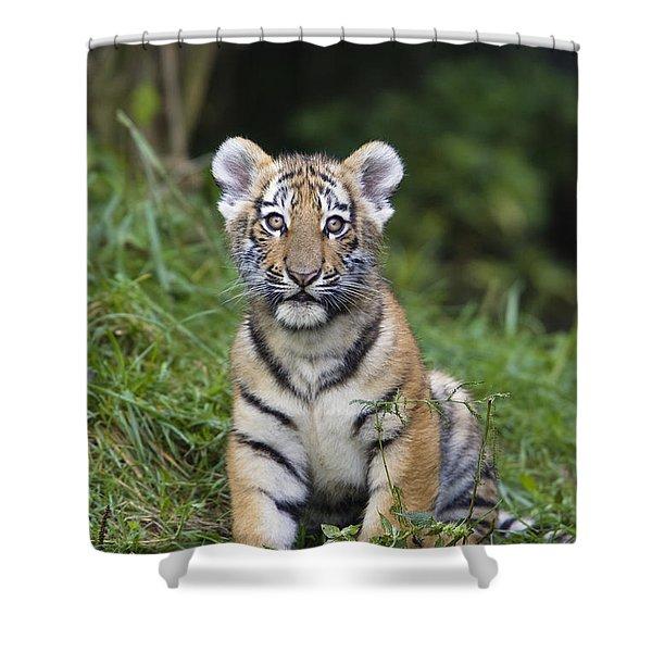 Siberian Tiger Panthera Tigris Altaica Shower Curtain by Konrad Wothe