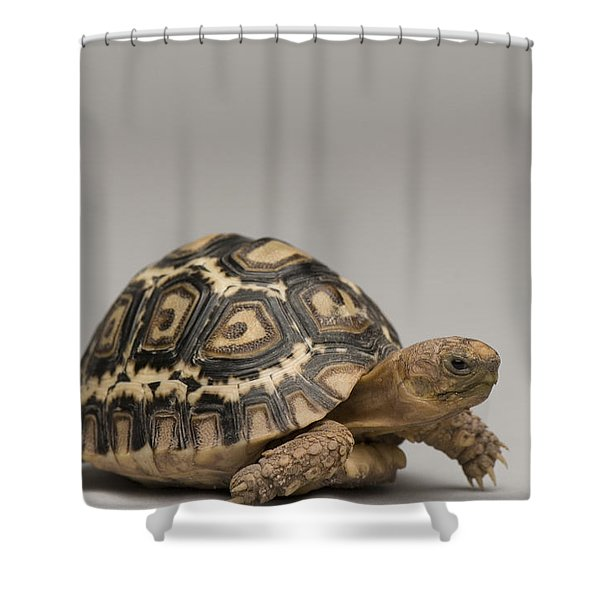 A Baby Leopard Tortoise At The Lincoln Shower Curtain