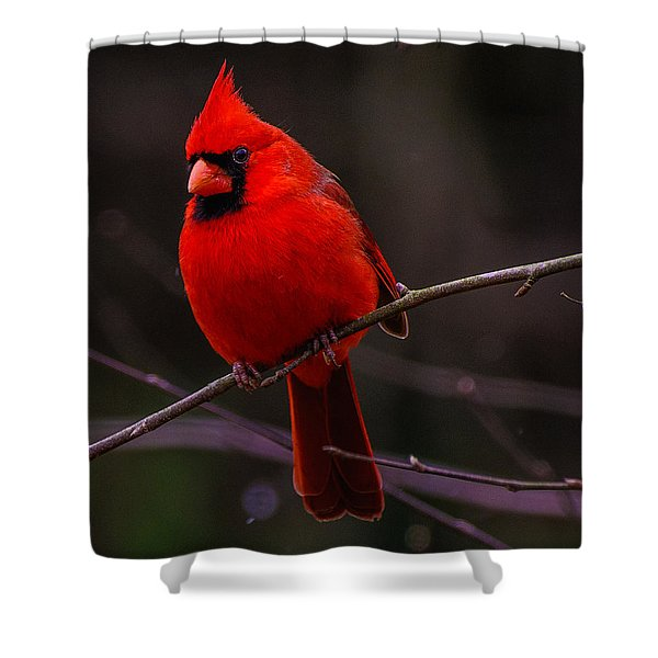 A Cardinal In January  Shower Curtain