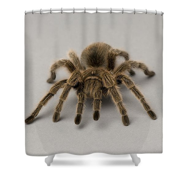 A Chilean Rose Tarantula At The Lincoln Shower Curtain