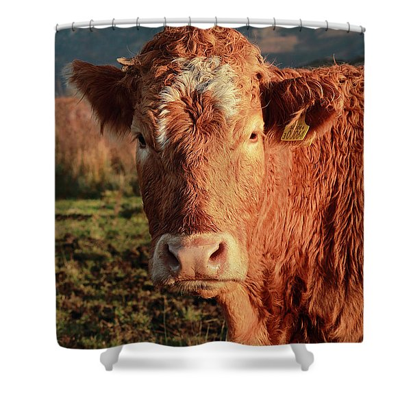 A Curious Red Cow Shower Curtain