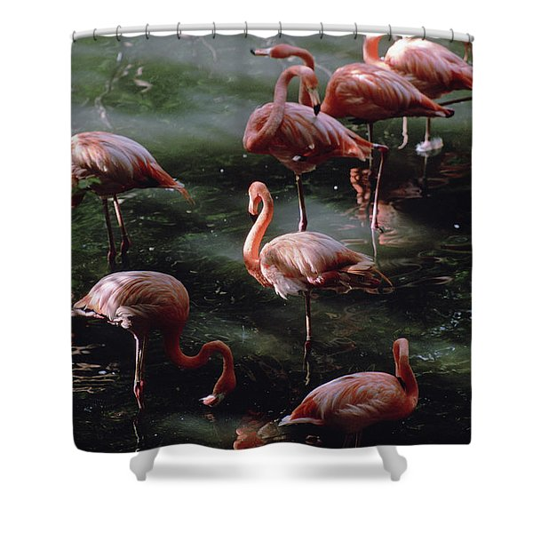 A Group Of Flamingos At The Folsom Shower Curtain