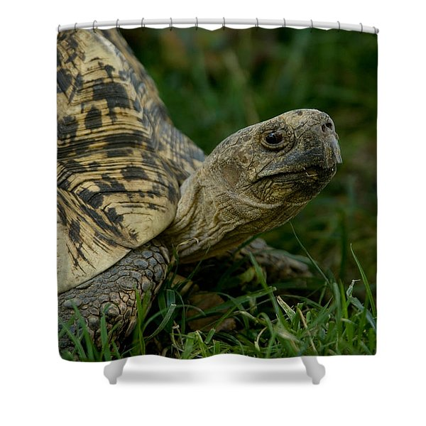 A Leopard Tortoise At The Lincoln Shower Curtain