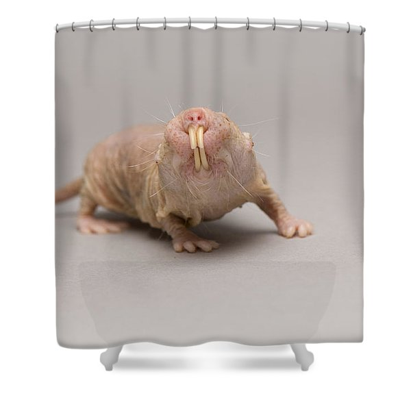 A Naked Mole Rat At The Lincoln Shower Curtain