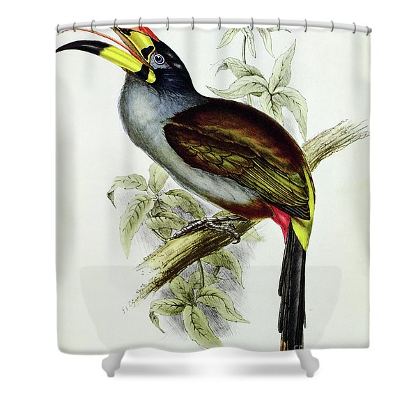 A Toucan  Pteroglossus Hypoglaucus From Tropical Birds Shower Curtain
