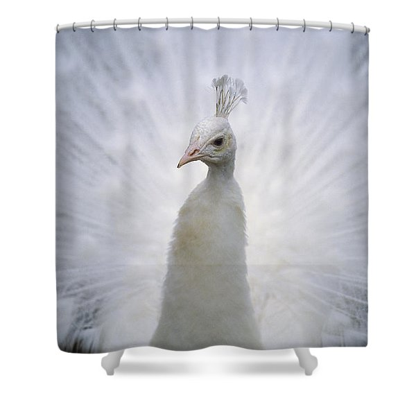A White Peacock, Pavo Sp., Spreads Shower Curtain