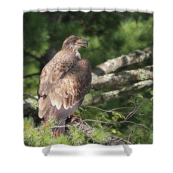 Adolescent Bald Eagle Shower Curtain