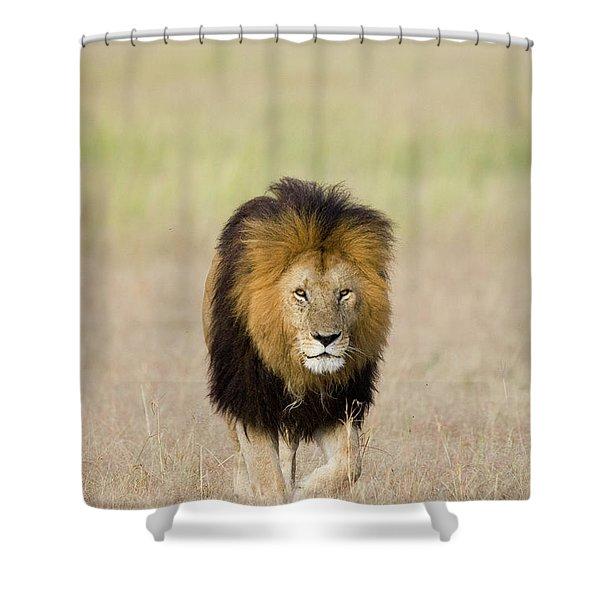 African Lion Panthera Leo Male, Masai Shower Curtain