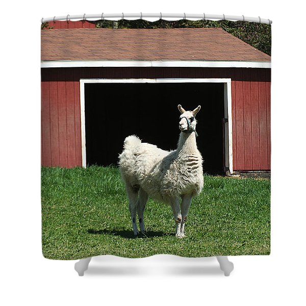 Shower Curtain featuring the photograph Alpaca And Red Shed by William Selander