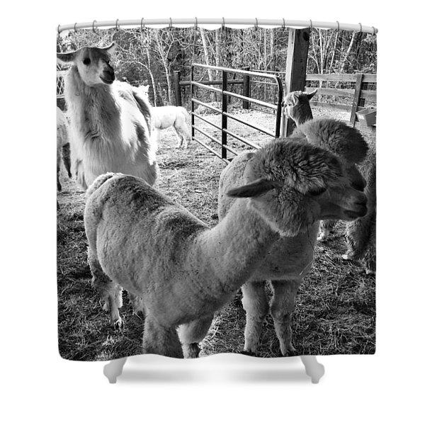Alpaca Meeting  Shower Curtain