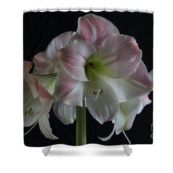 Amaryllis Full Bloom Shower Curtain