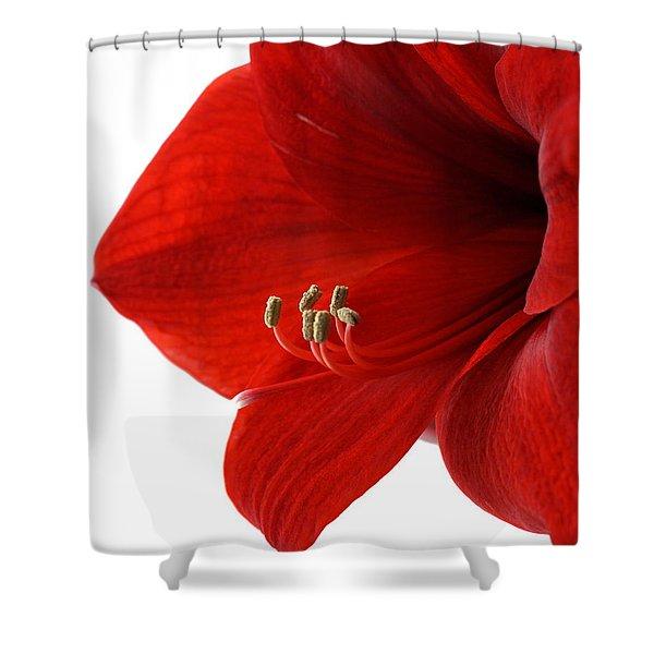 Amaryllis On White 3 Shower Curtain