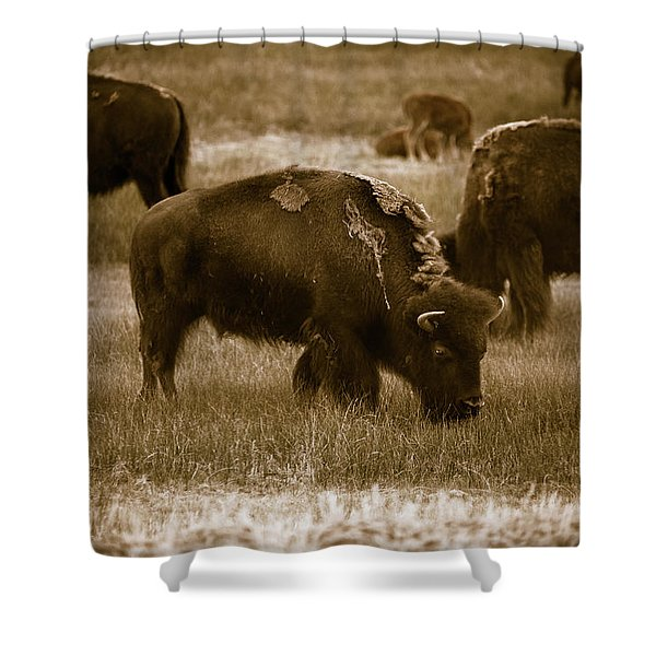 American Bison Grazing - Bw Shower Curtain
