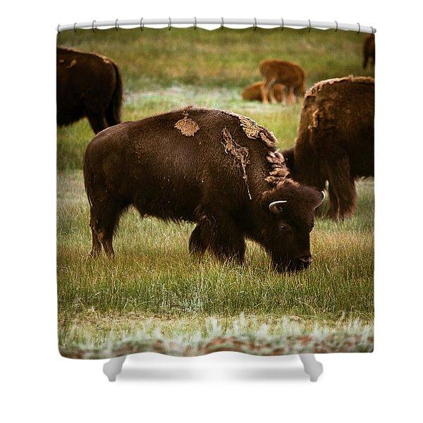 American Bison Grazing Shower Curtain
