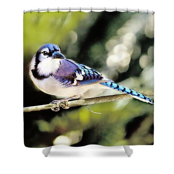 American Blue Jay On Alert Shower Curtain