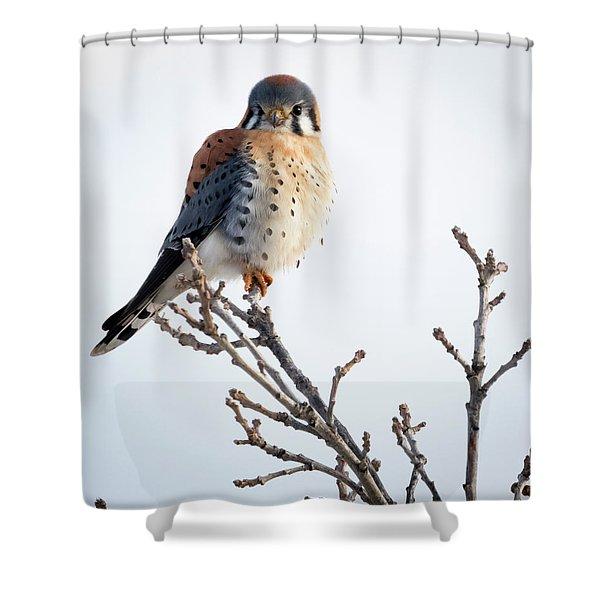 American Kestrel At Bender Shower Curtain