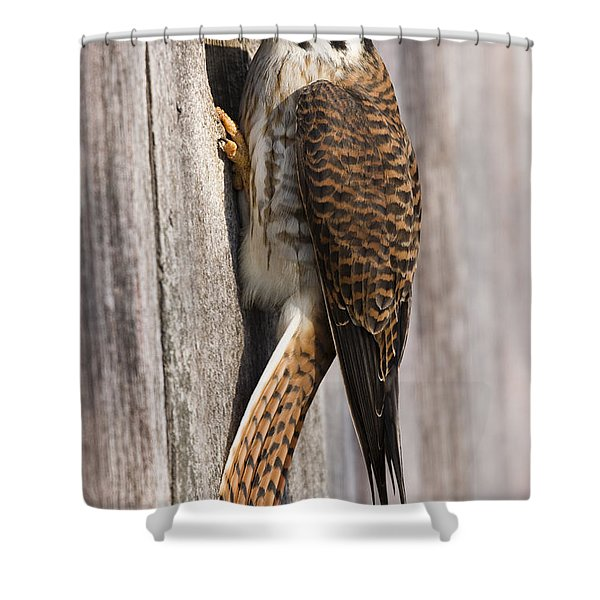 American Kestrel Female At Nest Box Shower Curtain