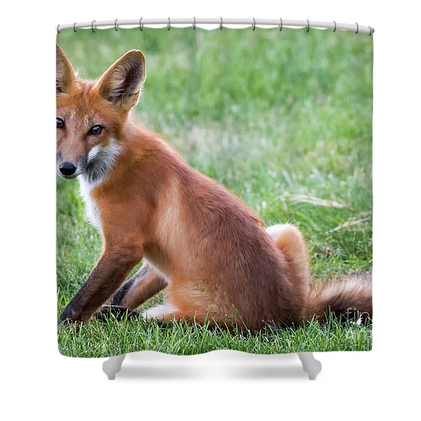 American Red Fox  Shower Curtain