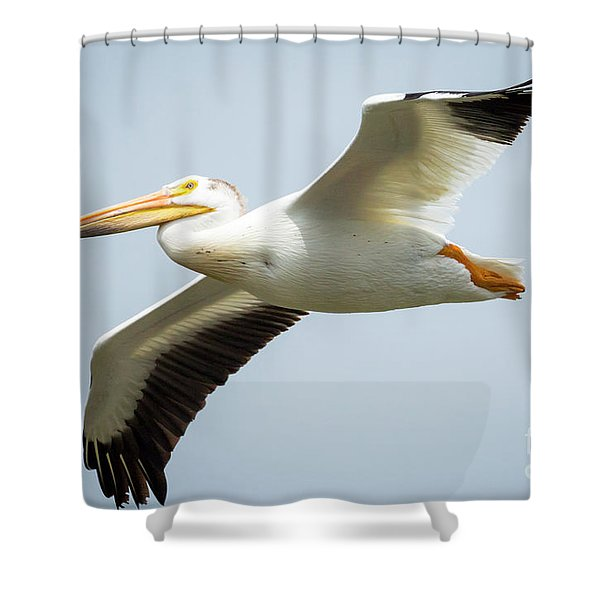 American White Pelican Flyby  Shower Curtain