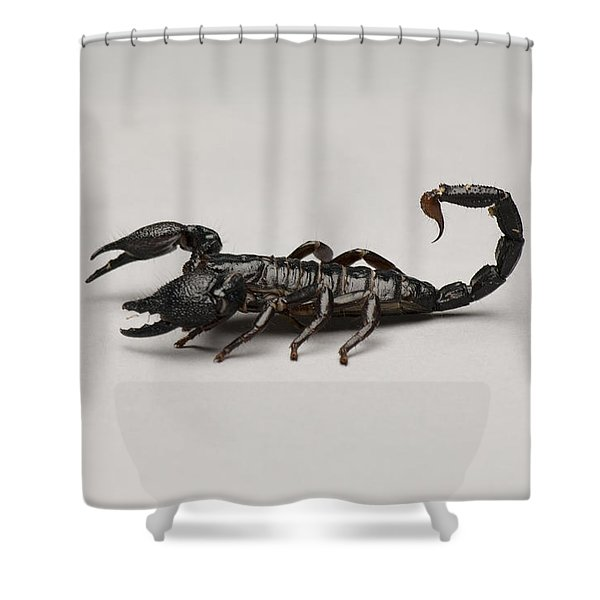 An Emperor Scorpion At The Lincoln Shower Curtain