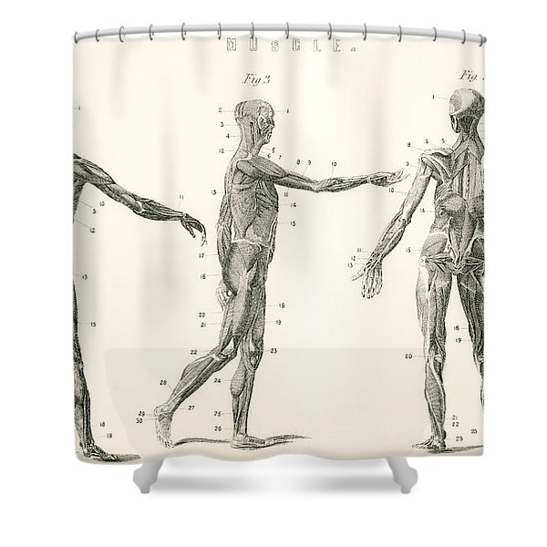 Anatomical Study Of Muscle In The Human Shower Curtain