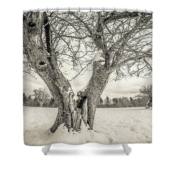 Ancient Apple Trees In Winter Shower Curtain