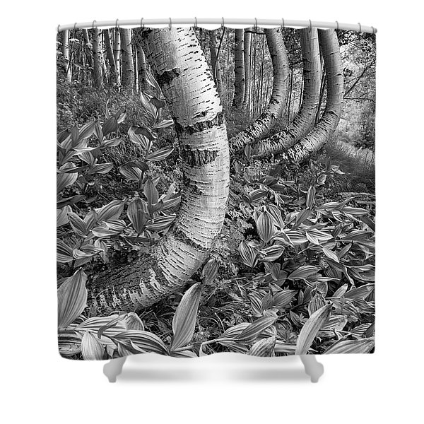 Aspens With Curves Shower Curtain