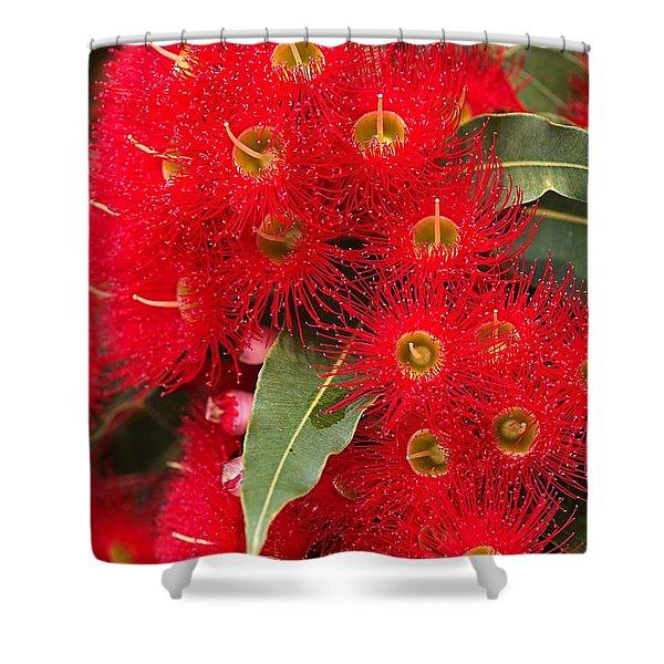 Australian Red Eucalyptus Flowers Shower Curtain