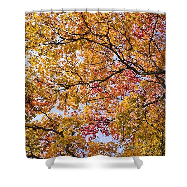 Autumn Acer Palmatum Shower Curtain