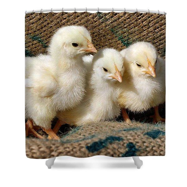 Baby Chicks Shower Curtain