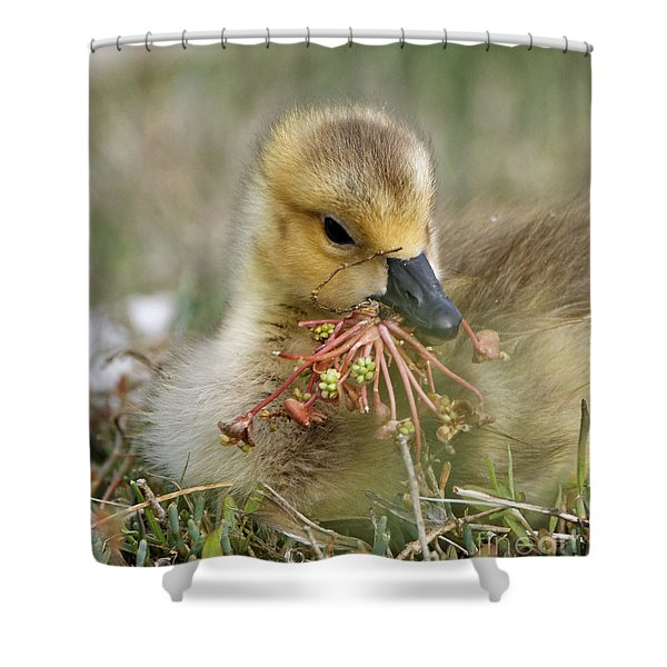 Baby Gosling Collecting Flowers Shower Curtain