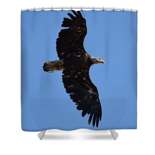 Bald Eagle Juvenile Soaring Shower Curtain