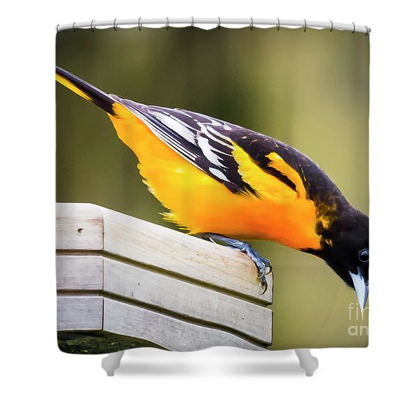 Baltimore Oriole About To Jump Shower Curtain