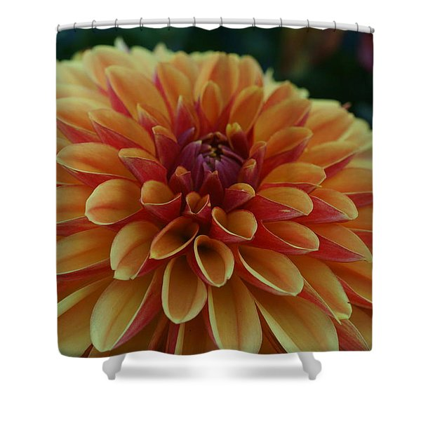 Beautiful Dahlia 1 Shower Curtain