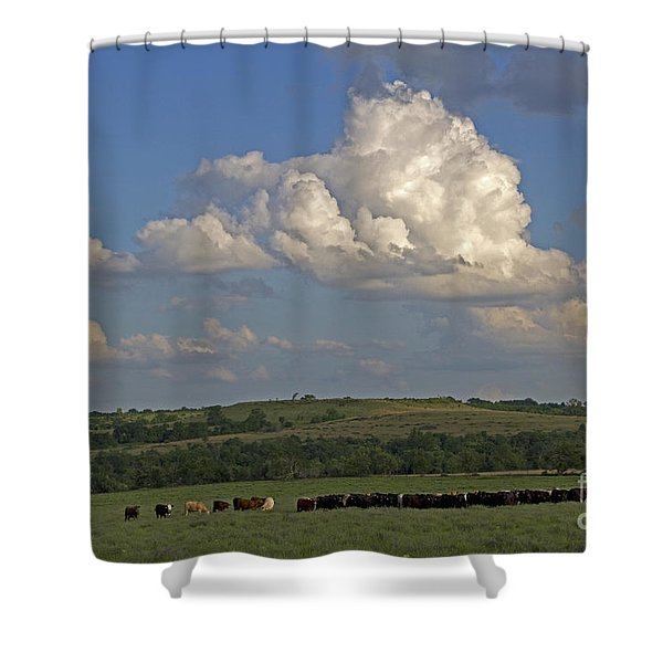 Beef Cattle In Kansas Shower Curtain