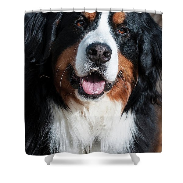 Bernese Mountain Dog Portrait  Shower Curtain