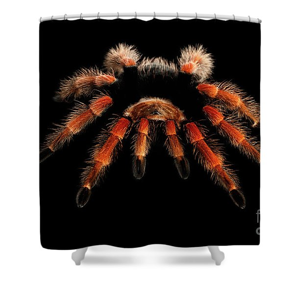 Big Hairy Tarantula Theraphosidae Isolated On Black Background Shower Curtain
