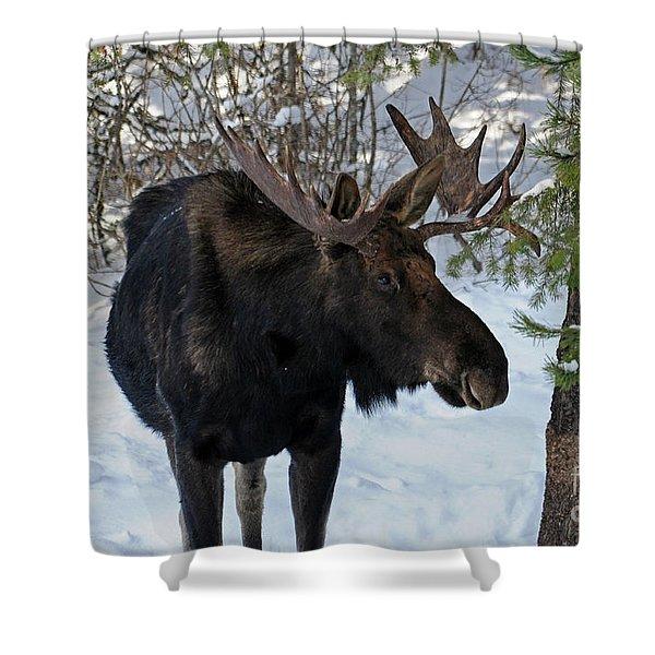 Big Moose Shower Curtain