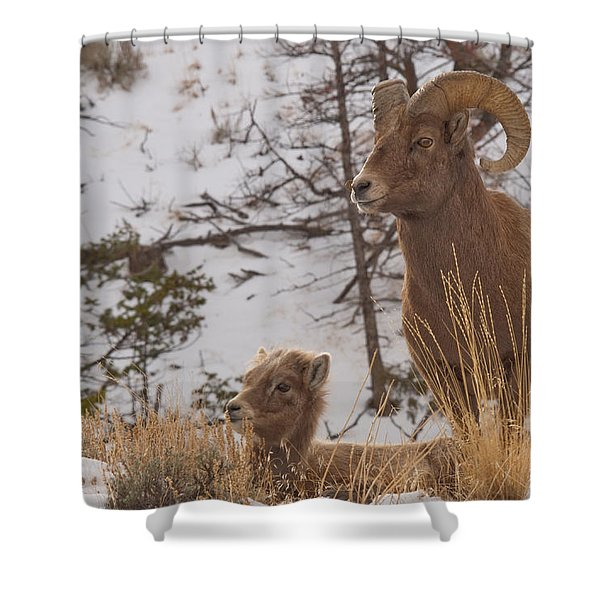 Bighorn Ram And Kid Shower Curtain