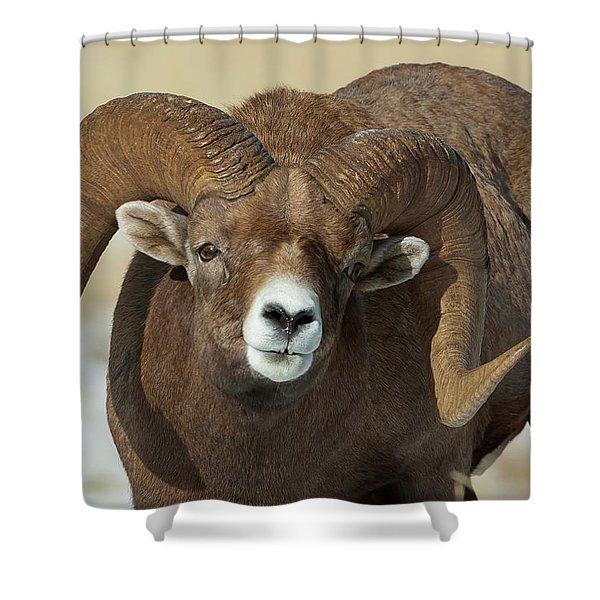 Bighorn Ram In Montana Shower Curtain