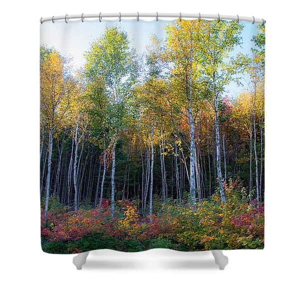 Birch Trees Turn To Gold Shower Curtain