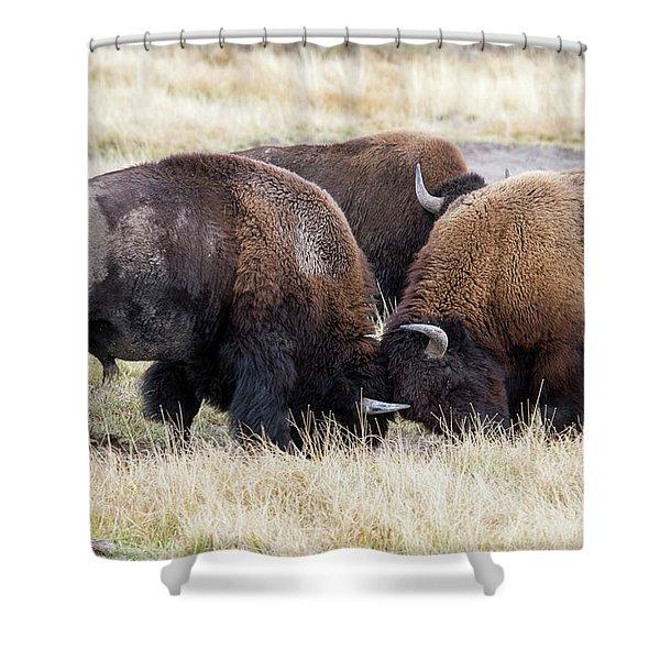 Bison Fight Shower Curtain