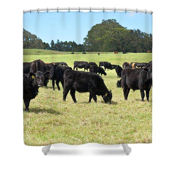 Black Angus Steers Shower Curtain