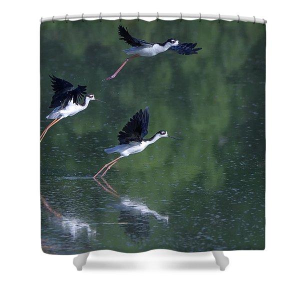 Black-necked Stilts 4302-080917-2cr Shower Curtain