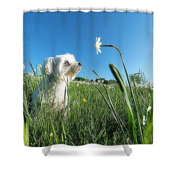 Blooming Daffodils In The Antola Park With Maltese IIi Shower Curtain