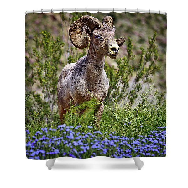 Blooms And Bighorn In Anza Borrego Desert State Park  Shower Curtain