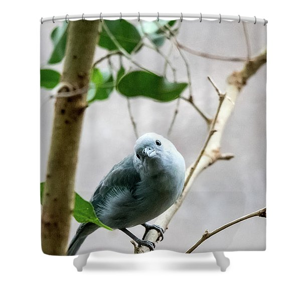Blue-grey Tanager Shower Curtain