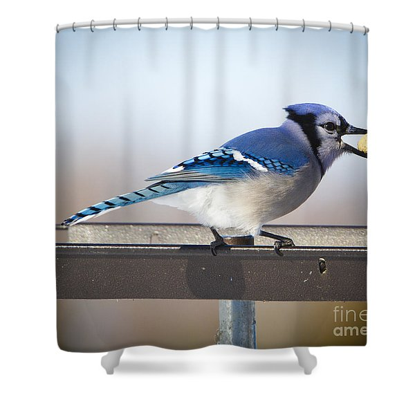 Blue Jay With A Mouth Full Shower Curtain