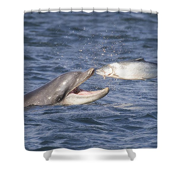 Bottlenose Dolphin Eating Salmon - Scotland  #36 Shower Curtain